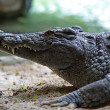 Crocodile closeup — Stock Photo