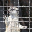 Meercat in cage — Stock Photo