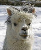 Lama in the nature — Stock Photo