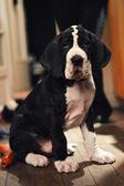 Great Dane Puppy — Stock Photo