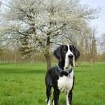 Young great dane or German mastiff — Stock Photo #43993259