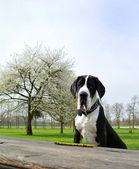 Young great dane or German mastiff — Stock Photo