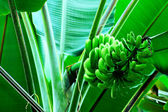 Banana bunch — Stock Photo