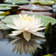 Stock Photo: White Lotus in basin