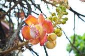 Sara Buddha Flower — Stockfoto