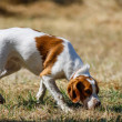 Brittany spaniel, young hunting dog sniffing  — Stock Photo