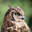 Great horned Owl portrait — Stock Photo