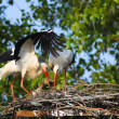White storks in love — Stock Photo