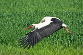 White stork in flight — Stock Photo