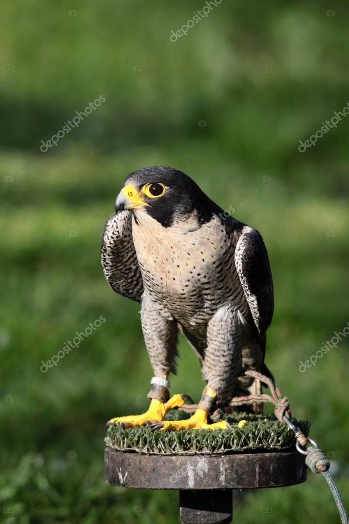Peregrine Falcon Perched Peregrine Falcon Perched on Wooden Stand Falconry Bird Photo by Katpaws