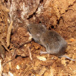 Foto de Stock  : Vole - rodent in old tree