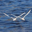 Two Black-headed Gulls in flight — Stock Photo