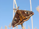 Emperor Moth resting on reed with blue sky behind — Stock Photo