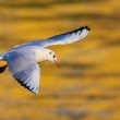 River gull flying — Stock Photo #35663341