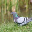 Feral pigeon and racing pigeon — Stock Photo