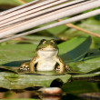European green water frog — Stock Photo