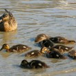 Watchfull eye of mom duck — Stock Photo #35666147