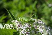 Grasshopper on white flowers — Stock Photo
