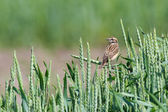 Whinchat (Saxicola rubetra) — Stock Photo