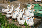 White domestic geese — Stock Photo