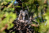Long-eaered owl owlet in nest — Stock Photo