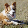 Yellow-white Border collie portrait — Stock Photo
