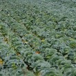 Cabbage field — Stock Photo