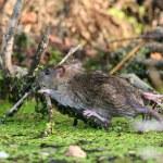 Wet brown rat — Stock Photo