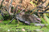 Wet brown rat — Stock Photo