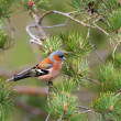 Chaffinch - European finch — Stock Photo #36550305