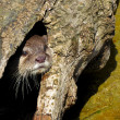 Otter hiding in hollow tree — Stock Photo