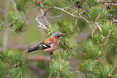 Chaffinch - European finch — Stock Photo
