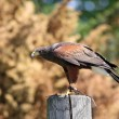 Harris hawk - falconry bird — Stock Photo #37324973