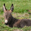 Baby donkey — Stock Photo #37325725