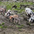 Stock Photo: Spotted piglets