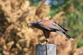 Harris hawk - falconry bird — Stock Photo