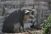 Mangalitsa pig sitting in front of the pigsty — Stock Photo