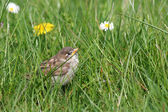 Baby sparrow on grass — Stock Photo