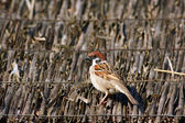 Sparrow on cane roof — Stock Photo