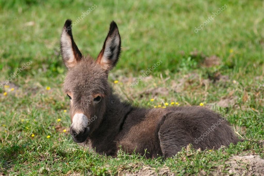 大耳朵的可爱的小宝贝驴– 图库图片