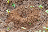 Ant hill — Stock Photo