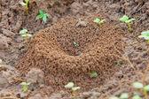 Ant hill — Stok fotoğraf