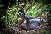 Ducks. — Stock Photo