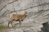 Goat on a cliff — Stock Photo