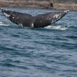 Stock Photo: Flipper of humpback whale