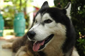 Smile and happy Siberian Husky dog — Stok fotoğraf
