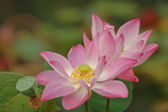 Pink lotus is blooming — Stock Photo