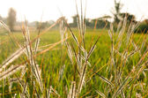 Grass in sunset on a meadow in soft evening back light — Stock Photo
