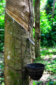 Milky latex extracted from rubber tree (Hevea Brasiliensis) — Stock Photo