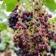 Ripening grape clusters on vine — Stok Fotoğraf #40479193